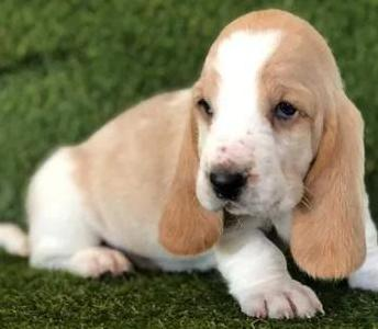 Cachorros basset hound pura raza