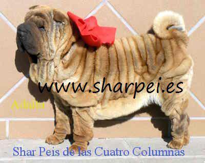 Impresionantes cachorros sharpes 100% americanos