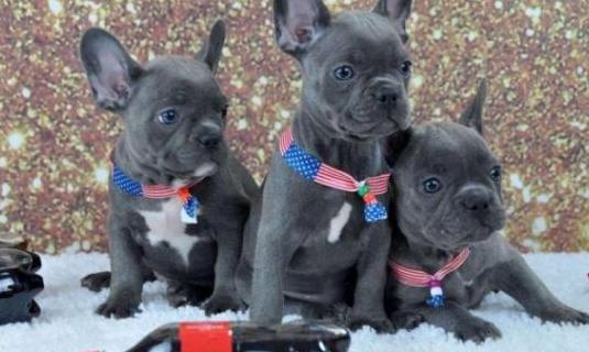 Pura raza bulldog francés azul