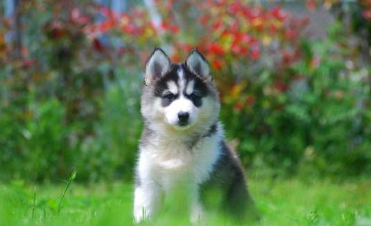 Cachorros de husky siberiano: nacionales