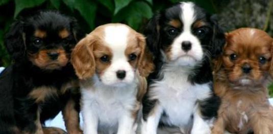 Cavalier king charles spaniel cachorros