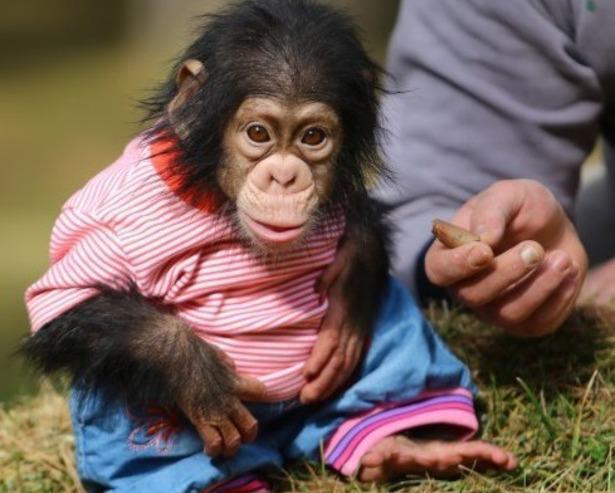 Monos entrenados para sus hogares
