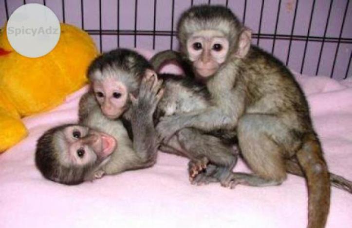 Monos veterinarios controlados y bebés chimpancés para la