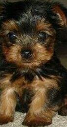 Disponible dos yorkshire terrier macho hembra
