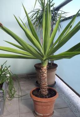 Maceta con palmera
