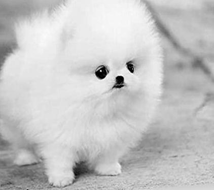Pomerania spitz cachorro con papeles
