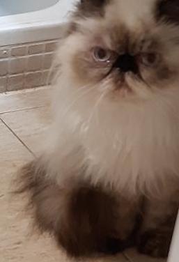 Doy en adopción una gatita persa