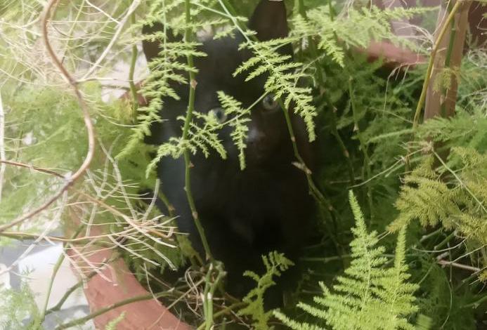 Gatito negro nacido el 15 de febrero