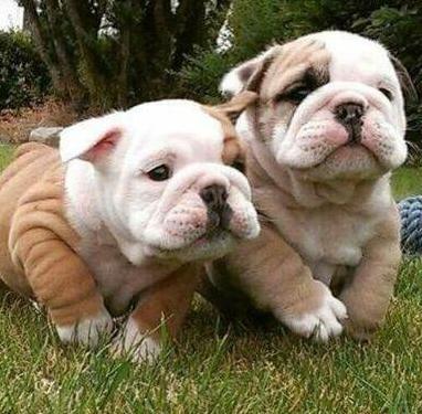 Cachorros de buldog ingles