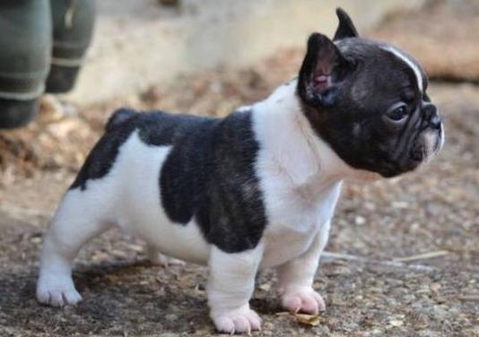 Cachorros de pura raza bulldog francés