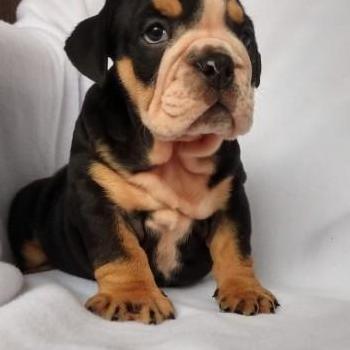 Disponible cachorro de bulldog inglés,