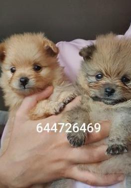 Pomerania toy miniatura