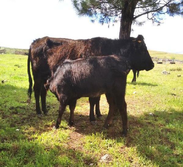 Venta de 2 vacas angus en madrid