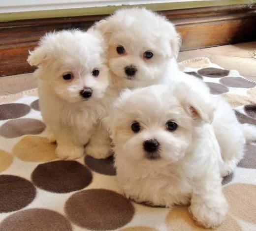 Bichón maltés cachorros machos y hembras para adopción.