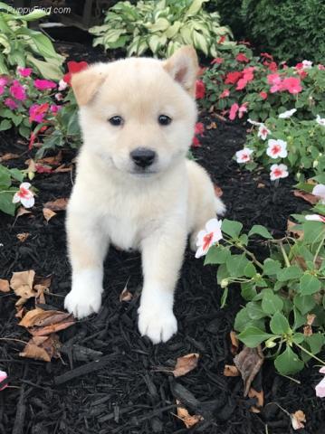 Regalo cachorros shiba inu listo para adopcion