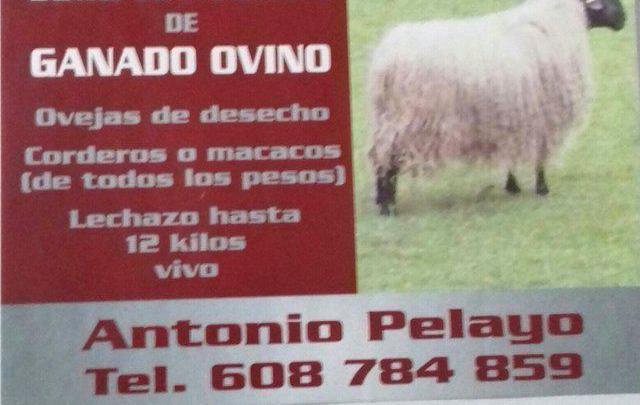 Compra de ovejas y cabras de deshecho en cantabria