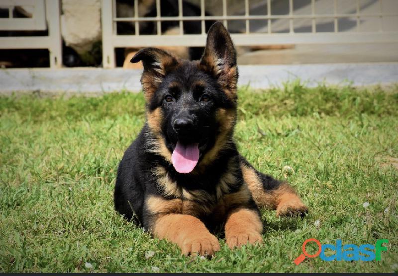 Cachorros de pastor aleman !!!