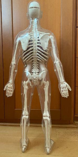 Esqueleto para estudio.