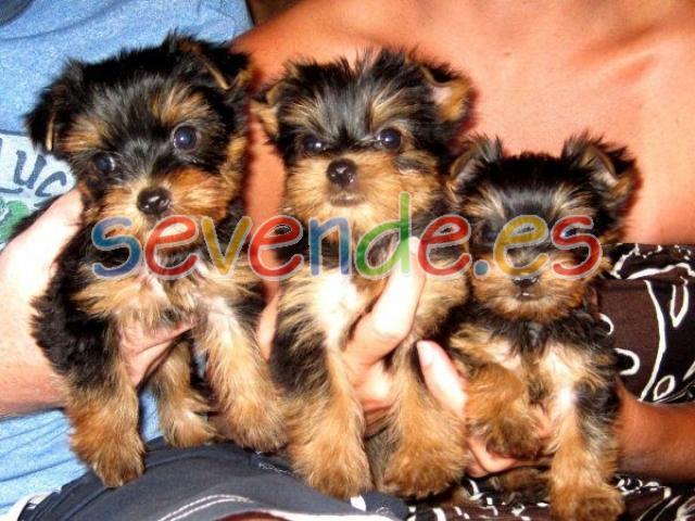 Yorkshire mini toy cachorros