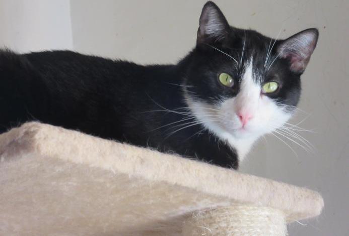 Gatito blanco y negro adopta
