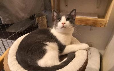 Rian. gatito gris y blanco