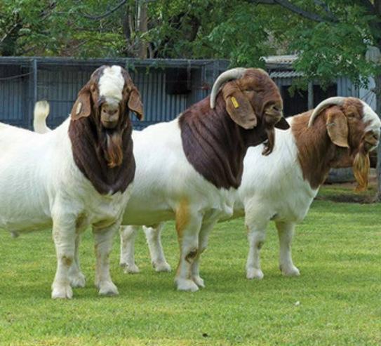 080cabras lecheras, vacas lecheras, ovejas lecheras en venta