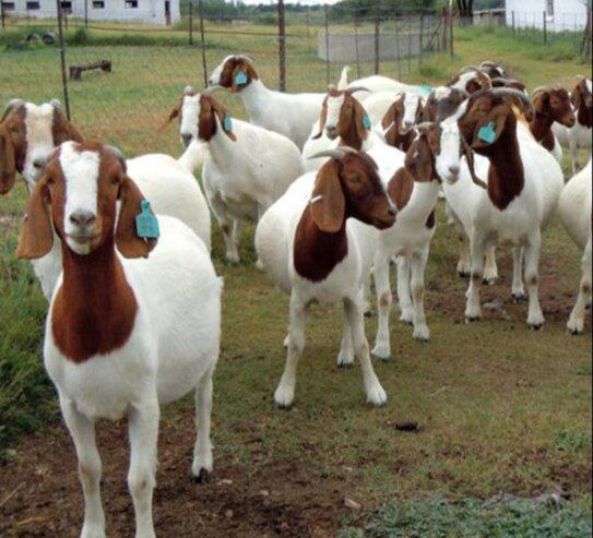 097cabras lecheras, vacas lecheras, ovejas lecheras en venta