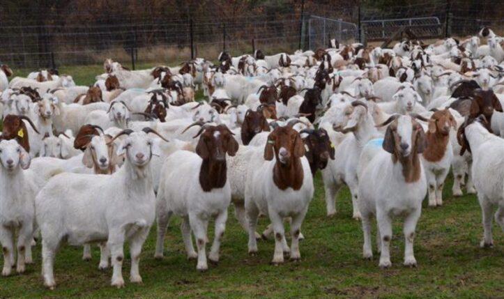 55cabras lecheras, vacas lecheras, ovejas lecheras en venta