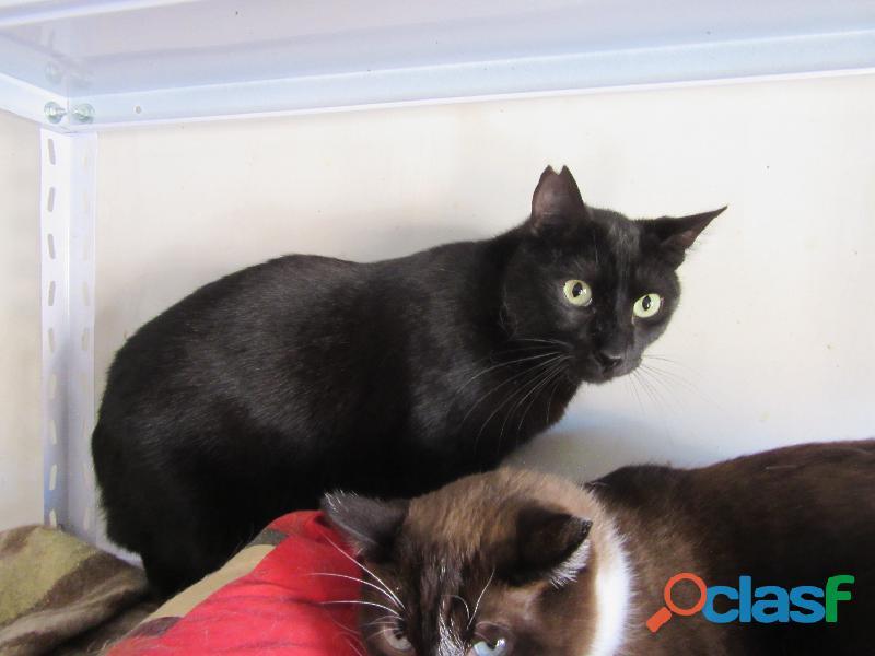 Pancho. gato negro.adopcion