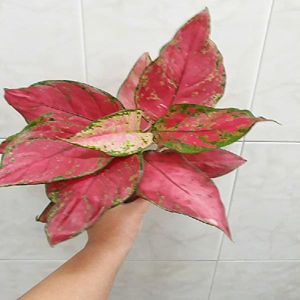 Planta aglaonema red thai híbrida
