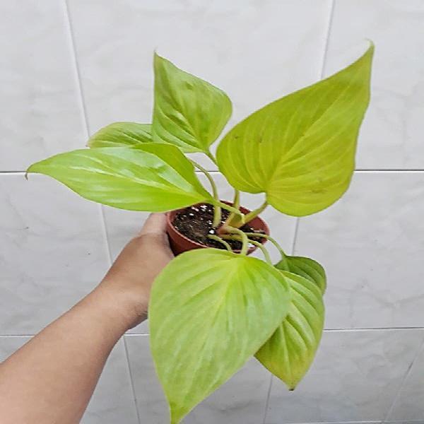 Planta homalomena glory gem