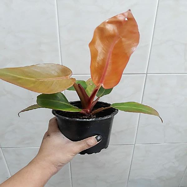 Planta philodendron prince of orange