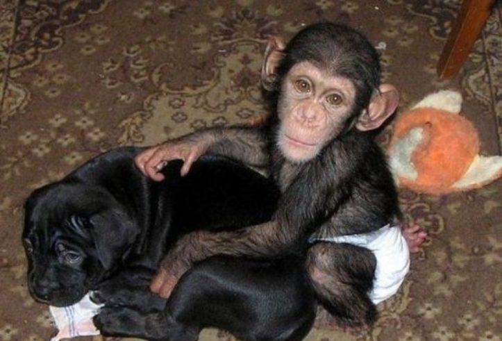 Monos adorables, bebés chimpancés disponibles
