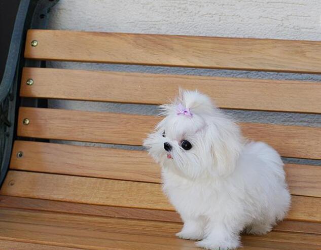 Cachorritos de bichon maltes bb