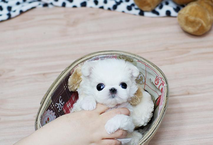 Cachorritos de bichon maltes w
