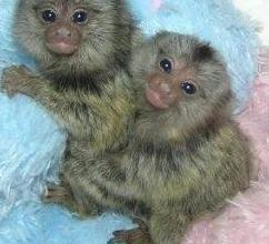 Súper dos monos de marmoset