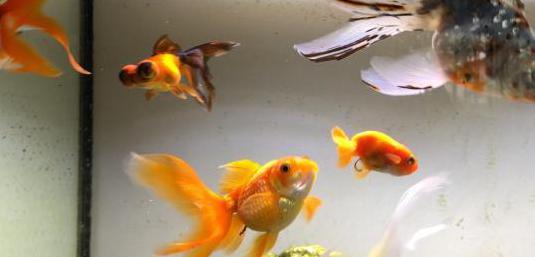 Adopto peces de agua fría y marinos