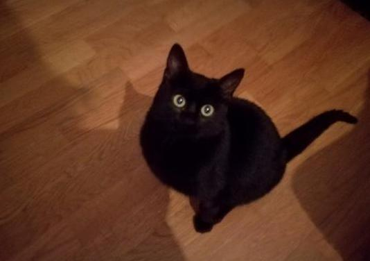 Bubu gatito de 10 meses en adopción