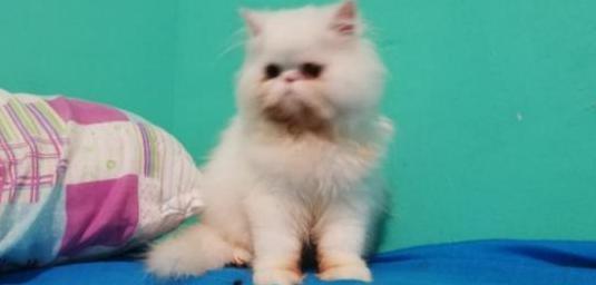 Bonito gatito persa
