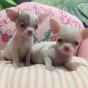 Chihuahuas calidad 595