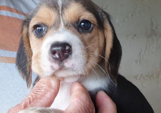 Cachorros raza beagle
