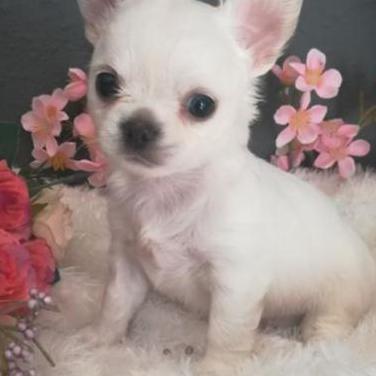 Chihuahua macho pelo largo color blanco