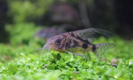 Corydoras paleatus para acuario.
