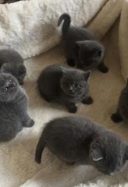 Gatitos de raza british shorthair