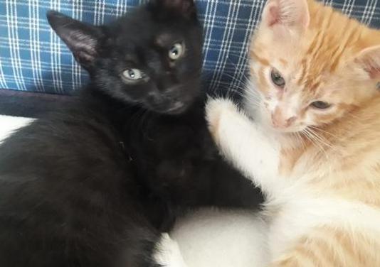 Hoshi gatita de 2 meses en adopción