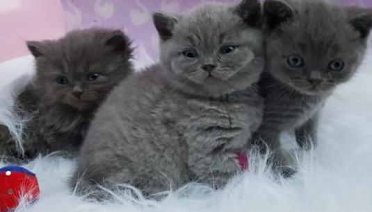 Impresionantes gatitos británicos de pelo