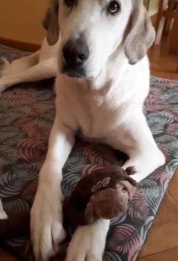 Perla perrita de 5 años en adopción