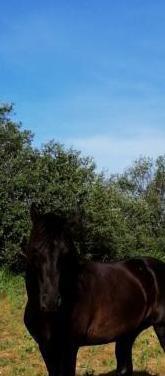 Caballo castaño oscuro