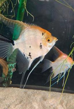 Pareja de peces escalares