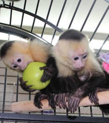 Comprar primates mono capuchinos